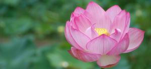 medit_lotus